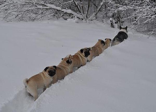 Pug line
