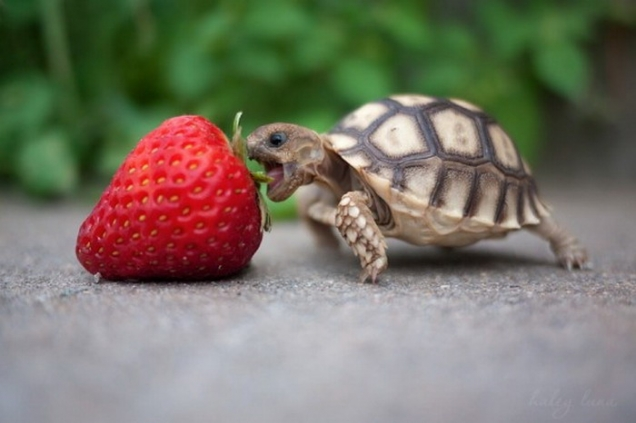 Turtle strawberry