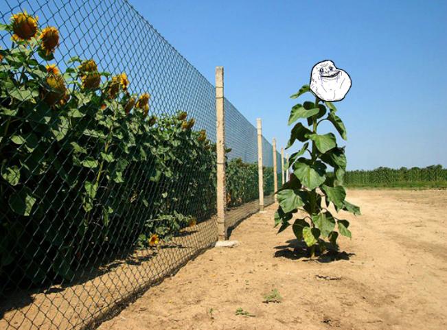 Forever alone sunflower