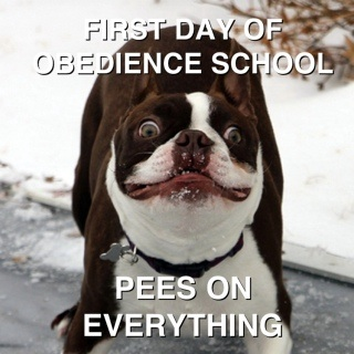 First day of obedience school, pees on everything
