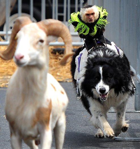 Monkey riding dog chasing goat