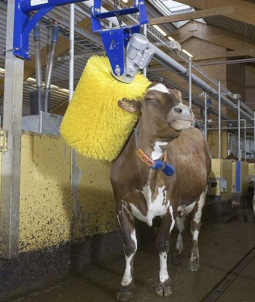 Cow car wash
