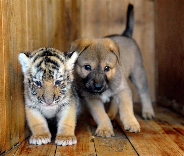 Baby tiger and dog