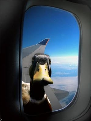 Duck airplane window
