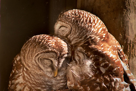 Two owls snuggling